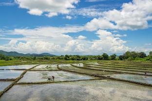 Rice harvest, northern Peru